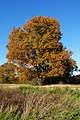 Autumn Oak at Shipley, West Sussex.jpg