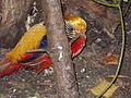 Bažant zlatý (Chrysolophus pictus).JPG