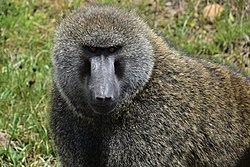 Baboon, Bale Mountains National Park (2) (28662488333).jpg