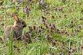 Baby Bunny - RSPB Sandy (33969155131).jpg
