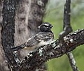 Baby Willie Wagtail (31964614232).jpg