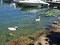 Baby swan @ Lake Annecy @ Port de Saint-Jorioz (50487821456).jpg