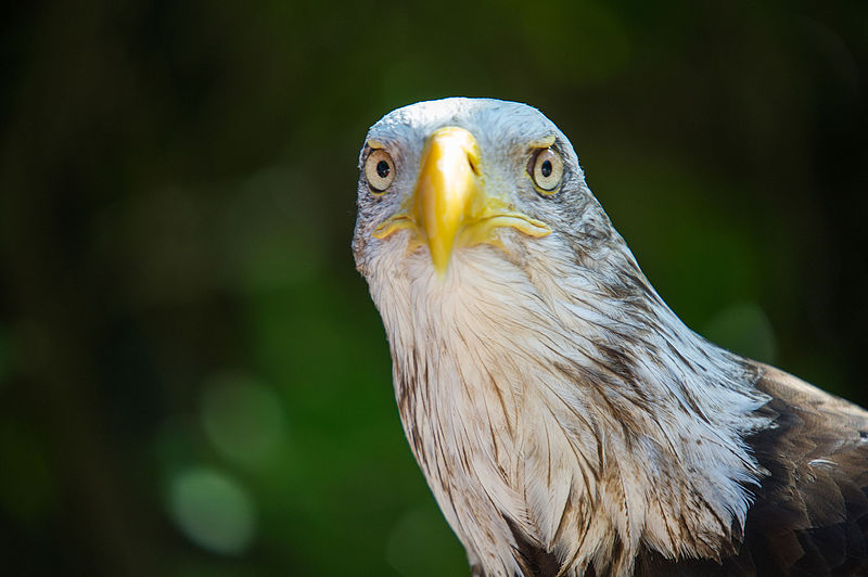 File:Bald Eagle Looking Forward (20266064642).jpg