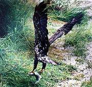 Juvenile bald eagle, with salmon in Alaska