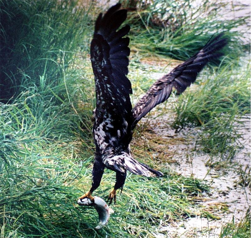 Bald Eagle and salmon.jpg