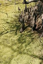 Bald cypress knees in duckweed.JPG