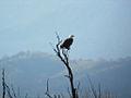 Bald eagle (6337872817).jpg
