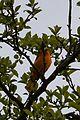 Baltimore Oriole (Icterus galbula), Male - Oakville, Ontario 01.jpg