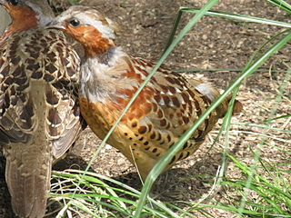 Chinese bamboo partridge species of bird