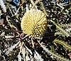 Banksia elegans in cultivation in Perth