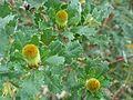 Banksia undata buds.jpg