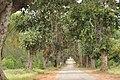 Banyans lining road.jpg