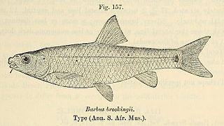 Border barb species of fish