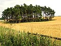 Barley near Bourton-on-the-Hill - geograph.org.uk - 31464.jpg