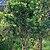 Barringtonia acutangula (Freshwater Mangrove) in Hyderabad W IMG 8323.jpg