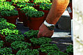 Basilico spostamento vasetto.jpg