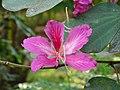 Bauhinia purpurea atHampi Karnataka.jpg