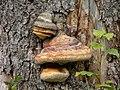 Baum Schwamm - panoramio.jpg