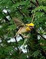 Baya Weaver Ploceus philippinus male Breeding plumage by Dr. Raju Kasambe DSC 5420 (14).jpg