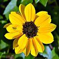 Beach Sunflower (5475293958).jpg