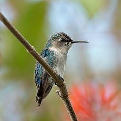 Bee hummingbird (Mellisuga helenae) immature male.jpg