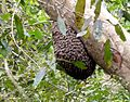 Bee swarm - Flickr - gailhampshire.jpg