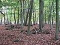 Beech trees - geograph.org.uk - 1029826.jpg