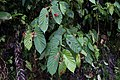Begonia consobrina (Begoniaceae) (29058620084).jpg