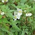 Begonia dregei-IMG 0436.jpg