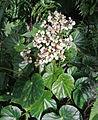 Begonia urophylla (14381389012).jpg