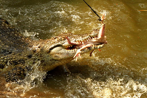 Crocodile feeding on a chicken carcass (click to embiggen)