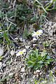 Bellis perennis route-ailly-sur-meuse 55 07042007 3.jpg