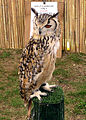 Bengal eagle owl arp.jpg