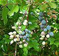 Berberis gracilis, fruit of the Mexican Barberry (10620438556).jpg