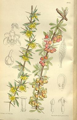 Berberis wilsonae 138-8414.jpg
