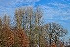Berijpte zwarte populieren (Populus nigra) tegen de vrieslucht. Locatie, Natuurterrein De Famberhorst 02.jpg