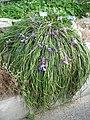 Berne botanic garden Iris unguicularis1.jpg