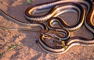 <i>Dromicodryas</i> Genus of snakes