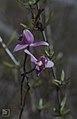 Bietia purpurea orchid. Nassau pines. (24005257217).jpg