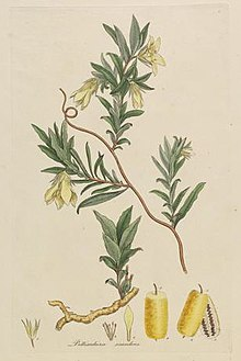 Colour drawing of a plant with long, slightly overlapping leaves and drooping yellow flowers.