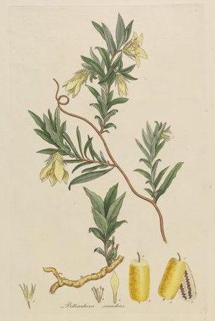 Billardiera scandens(cropped)