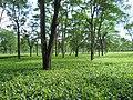 Binnaguri Tea Garden.jpg