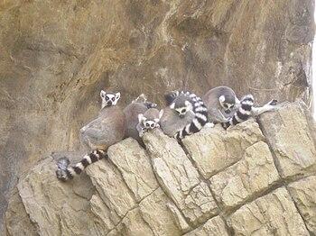 Español: Bioparc - Lemures en la Isla de los L...