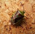Birch shieldbug (Elasmostethus interstinctus). Acanthosomatidae (43648534545).jpg