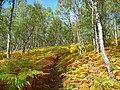 Birch wood at Dundreggan - geograph.org.uk - 994707.jpg