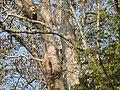 Bird Great Hornbill Buceros bicornis at nest DSCN9018 14.jpg