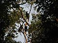 Bird Wreathed Hornbill Rhyticeros undulatus IMG 9195 (21).jpg