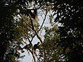 Bird Wreathed Hornbill Rhyticeros undulatus IMG 9195 (27).jpg