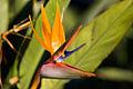 Bird of Paradise (2111825296).jpg