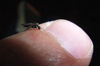 Sandfly - Image: Biting sandfly